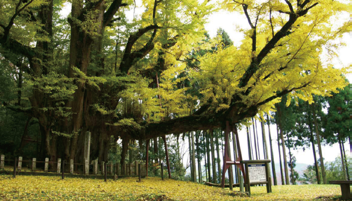 Ginkgo at Bodaiji Temple