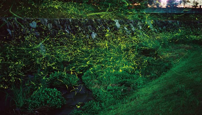 湯鄉螢火蟲觀察地點